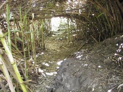 Schilfrohr im Barranco de los Cernicalos