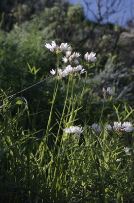 Rosen Lauch, Allium roseum