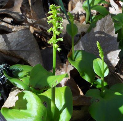 Zweifarbiger Grünstendel, Gennaria -diphylla (Link) Parl., Kanarische Pflanzen
