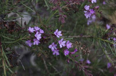 Kanaren Krummblüte, Campylanthus salsoloides