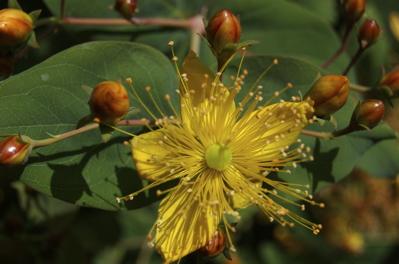 Hypericum, Kanarische Pflanzen