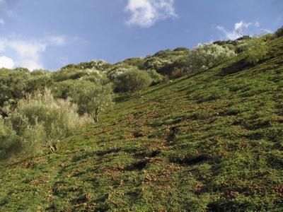Blühende weisse Ginster beim Wandern auf Gran Canaria