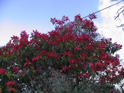 Weihnachtsstern Baum auf Gran Canaria
