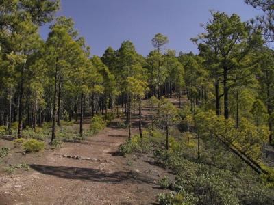 Weg durch die Kiefernwälder von Tamadaba