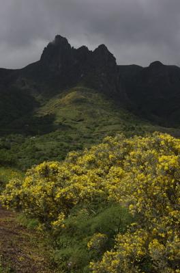 Blühender Ginster vor dem Roque Grande, Valsequillo