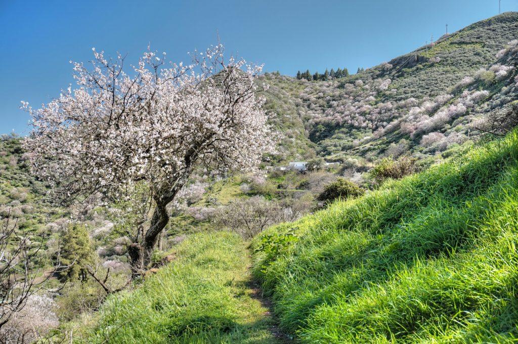 Blühende Mandelbäume und grüne Wiesen beim Wandern im Frühjahr auf Gran Canaria