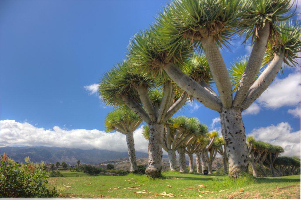 Kanarische Drachebäume auf dem Golfplatz von Bandama